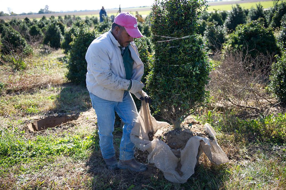 Man excavating tree on tree nursery