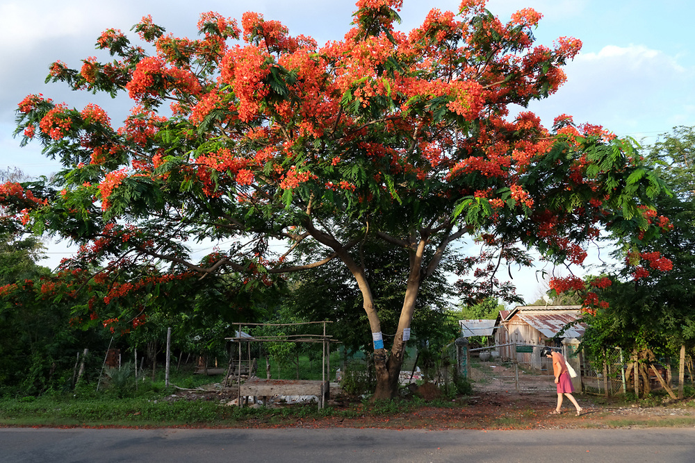 A western tourist is walking under a blossomed Delonix regia tree near Kep, Cambodia.<br />