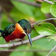 Green & Rufous Kingfisher along the Pixiam in the Pantanal, Brazil, Summer