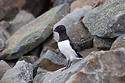 Little Auk perched on rock, Svalbard II