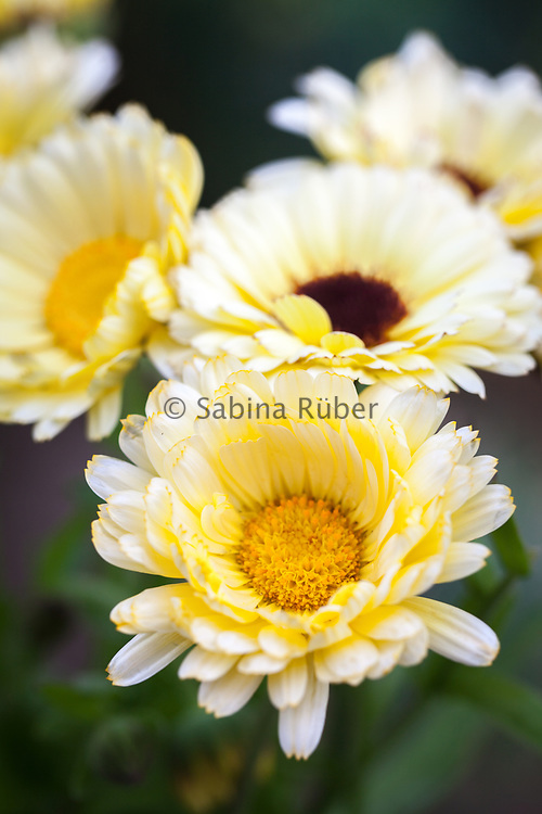 Calendula officinalis 'Snow Princess' - pot marigold
