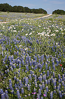 Bluebonnet, (Lupinus texensis), Threadgill Creek Rd., Mason County, Texas