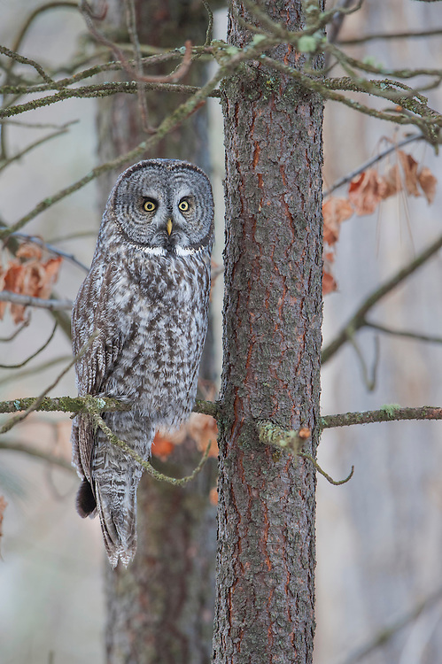 A great gray owl (Strix nebulosa) perched on a ponderosa pine, Missoula, Montana