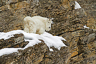 The surefooted mountain goat inhabits many of North America's most spectacular alpine environments including the Rocky Mountains and the Cascade Range in Washington, Idaho and Montana. In addition, there are some introduced populations in the mountains of Wyoming, including a large herd which resides near the town of Alpine.