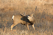 A gigantic non-typical mule deer buck scratches an itch with his enormous antlers