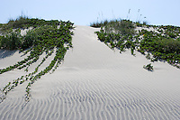 Morning glories on dunes at South Padre Island, Texas