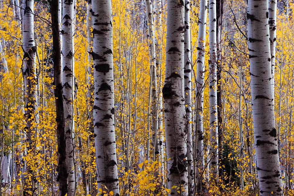 Aspen grove in peak autumn colors on McClure Pass near Marble, Colorado.