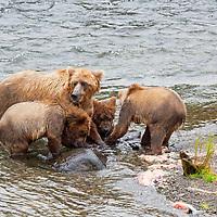 USA, Alaska, Katmai. Brown bear sow and three cubs at Brooks Falls.