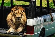African Lion at the San Diego Safari Park