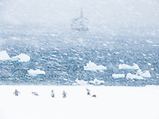 """In a heavy snow storm on an Antarctic island, Gentoo penguins (Pygoscelis papua) waddle to the ocean to retrieve food for chicks. Offshore, a cruise ship anchors amid icebergs. An adult Gentoo Penguin has a bright orange-red bill and a wide white stripe extending across the top of its head. Chicks have grey backs with white fronts. Of all penguins, Gentoos have the most prominent tail, which sweeps from side to side as they waddle on land, hence the scientific name Pygoscelis, """"rump-tailed."""" As the the third largest species of penguin, adult Gentoos reach 51 to 90 cm (20-36 in) high. They are the fastest underwater swimming penguin, reaching speeds of 36 km per hour."""