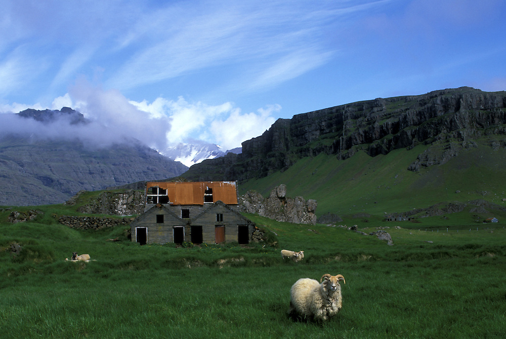 Europe, Iceland, Skalafell, Flock of sheep in meadow outside old barn at farm on summer morning along southeast coast