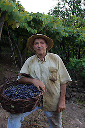 Jurandir Possamai durante a colheita da Uva, no municipio de Bento Gonçalves, serra gaucha.FOTO: Jefferson Bernardes/Preview.com