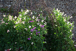 Birch arbour with sweet peas at Parham House