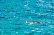 Sea turtle, U.S. Virgin Islands.