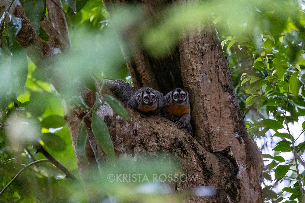 A family of night monkeys roost in a tree above Pahuachiro Creek off of the Maranon River in the Peruvian Amazon.