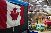 Cows are fed inside the exhibition hall as a Canadian flag is displayed nearby during the World Dairy Expo in Madison, Wisconsin, U.S., October 3, 2018.  REUTERS/Ben Brewer