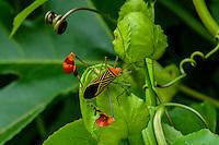 Flag-footed Bug [Anisocelis flavolineata] on Passionfruit vine; Casa Mariposa, Santa Fe, Panama