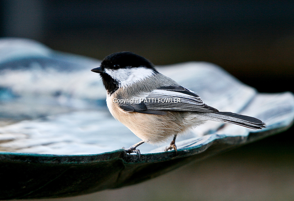 chickadee on edge of birdbath