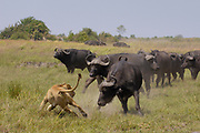 African Lion (Panthera leo) evading retaliation by Cape Buffalo (Syncerus caffer) herd, Africa