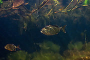 Lobetoothed Piranha (Pygopristis denticulata) in Aquatic Vegetation<br /> Permanant Freshwater Pond<br /> Savannah<br /> Rupununi<br /> GUYANA<br /> South America<br /> RANGE: Orinoco River Basin, Guianas & Lower Amazon River.