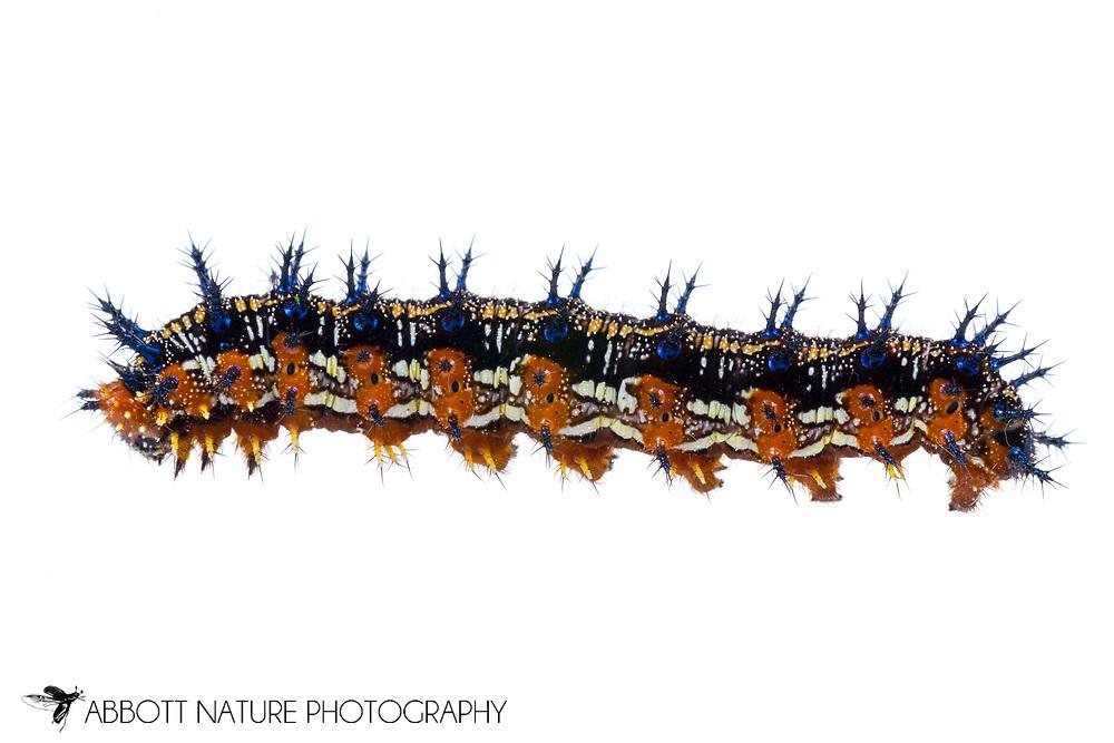 Common Buckeye - Hodges#4440 (Junonia coenia) caterpillar<br /> United States: Texas: Lamar Co.<br /> Camp Maxey National Guard, Powderly<br /> 25-Aug-2017<br /> J.C. Abbott #2979