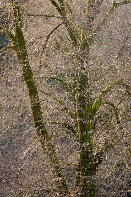 Barren trees in winter, Redwood Regional Park, East Bay Hills, California