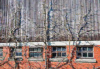 Switzerland. Springtime. Side of a Swiss Barn with pruned fruit trees anchored along it.