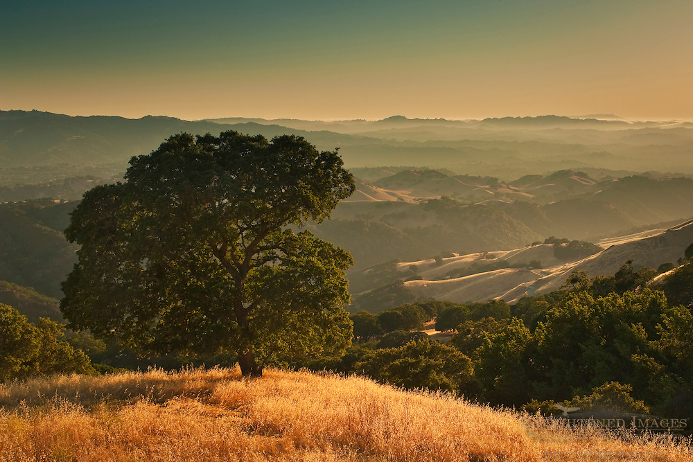 Oak tree at sunset on the hills of Mount Diablo State Park; California
