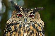 Deu, Deutschland: Uhu (Bubo bubo), Porträt, Lebensraum: Alpen, Wildpark Bad Mergentheim, Baden-Württemberg | DEU, Germany: Eurasian eagle owl (Bubo bubo), portrait, habitat: Euopean Alps, wild park Bad Mergentheim, Baden-Wuerttemberg |