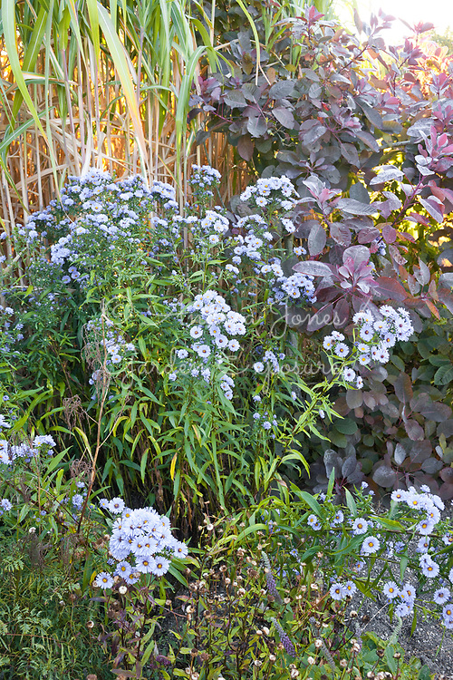 Aster novi-belgii 'Blue Eyes' with Cotinus coggygria 'Grace' and Miscanthus x giganteus of gardens