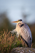 Gray Heron with wind in it's hair | Gråhegre med vind i håret