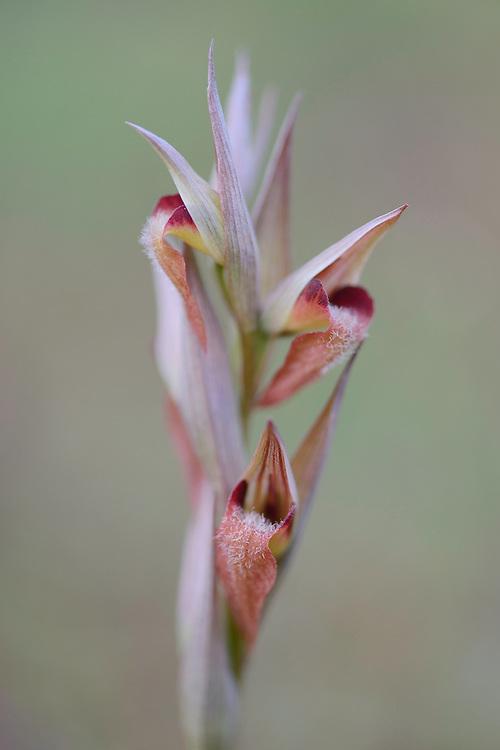 Serapias vomeracea, Eastern Rhodope mountains, Bulgaria