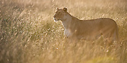 Lioness (Panthera leo) standing in the tall grass during sunset