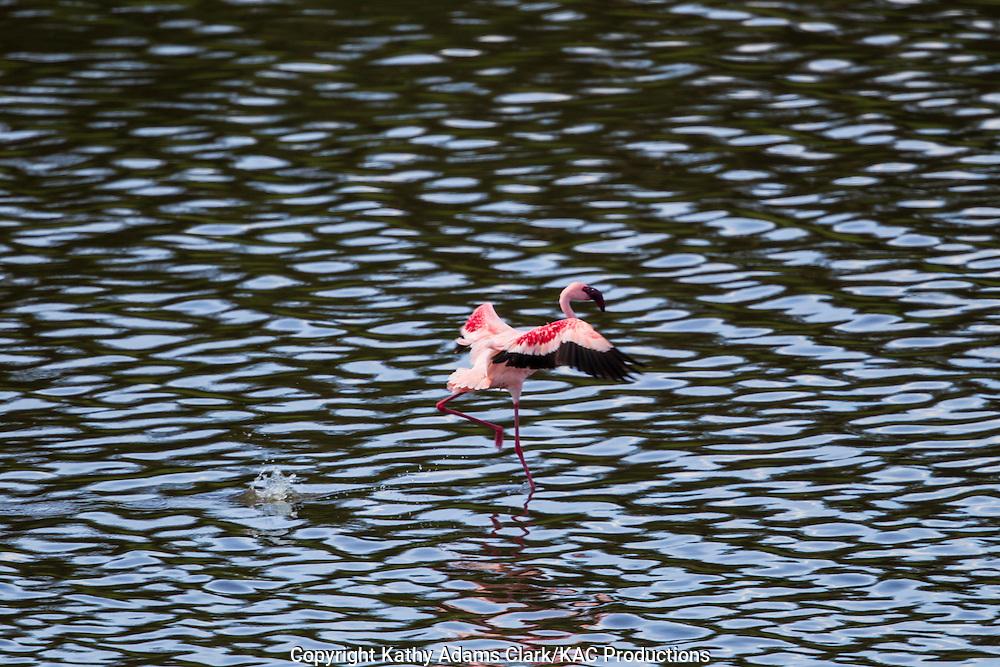 Lesser flaminto, Phoenicopterus minor, Momela Lakes at Arusha National Park, Tanzania, Africa.