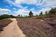 Europa, Niederlande, Limburg, Nationalpark De Maasduinen. Der Nationalpark ist einer der diversifiziertesten in den Niederlanden und umfasst unterschiedliche Naturraeume und Landschaftsformen, bluehende Besenheide (Calluna vulgaris) am Ufer des Sees Reindersmeer-<br /> <br /> Europe, Netherlands, Limburg, national park De Maasduinen. The national park is one of the most diversified in the Netherlands and includes different natural spaces and landscapes, blooming common heather (Calluna vulgaris) at lake Reindersmeer.
