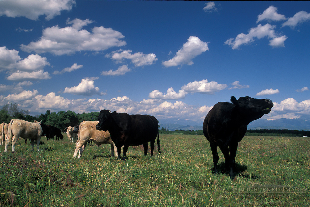 Cows in flat grass field in spring, Kaweah Oaks Preserve, near Visalia, San Joaquin Valley, California