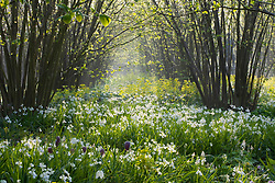 The Nuttery at Sissinghurst Castle garden in spring. Carpet of white bluebell -  Hyacinthoides non-scripta 'Alba'