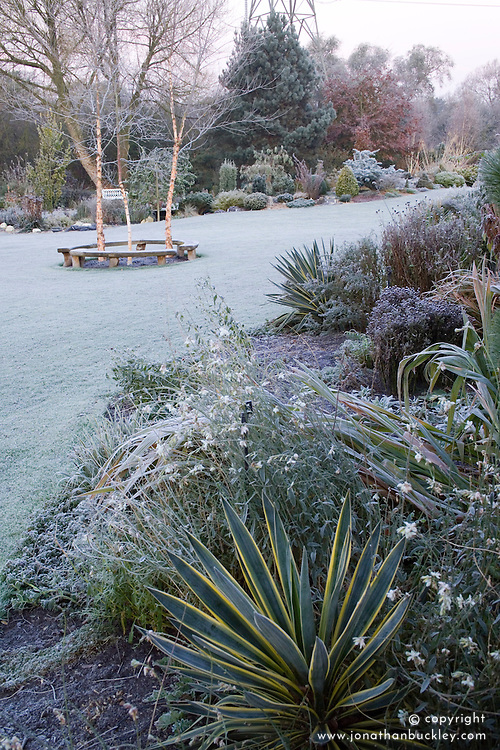 Frosty winter's morning in John Massey's garden. Curved bench seats around three birch trees - Betula nigra 'Heritage'