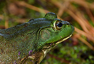 close-up of bullfrog on Willow Pond Trail at Core Sound Museum, Harkers Island