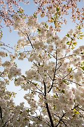 Prunus 'Shirotae' - ornamental cherry