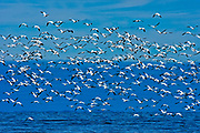 Snow goose (Anser caerulescens) in the Saint-Lawrence River<br /> Saint-Ulric<br /> Quebec<br /> Canada