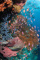 Reef Wall with Sponges, Black Corals, and Anthias<br /> <br /> Shot in Indonesia