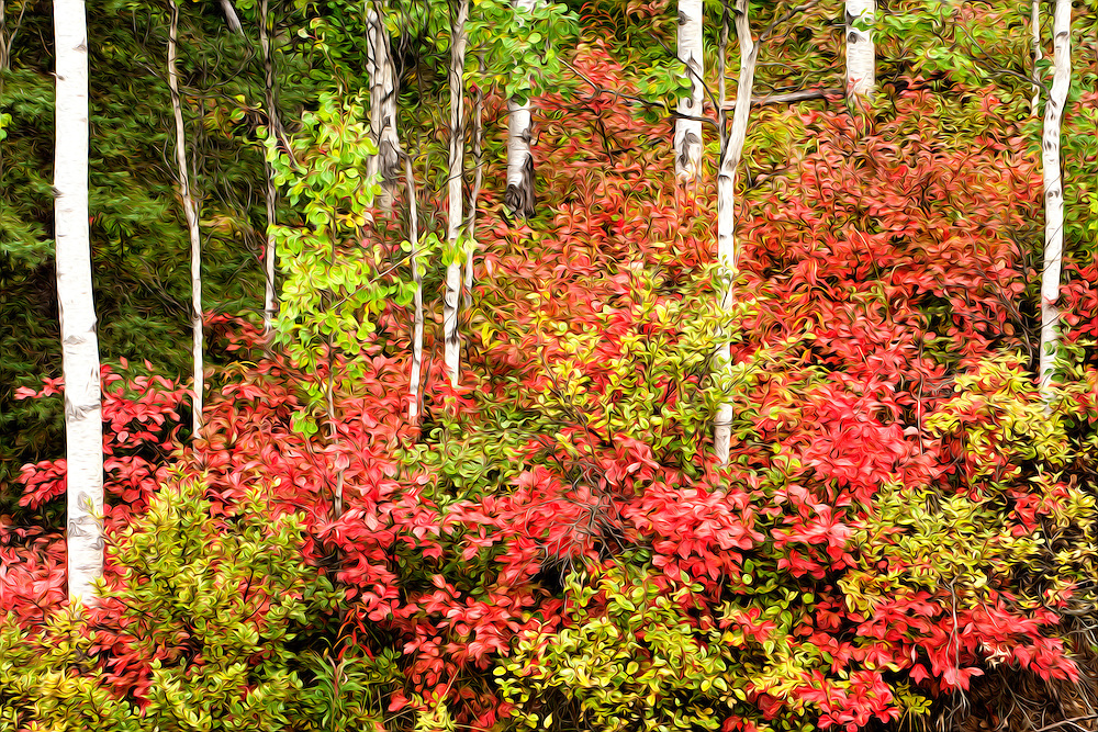 Oil Painting rendition of  fall colors of High-bush Cranberry leaves among Aspen trees in Chugach State Park, Eagle River in Southcentral Alaska. Fall. Morning.