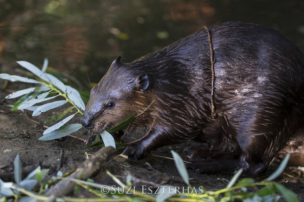 North American Beaver<br /> Castor canadensis<br /> Yearling eating willow<br /> Martinez, CA