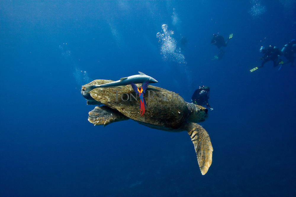 Underwater shot of a loggerhead turtle (Caretta caretta) being pursued by a remora fish and observed by scuba divers inside Gladden Spit and Silk Cayes Marine Reserve, off the coast of Placencia Village, Belize