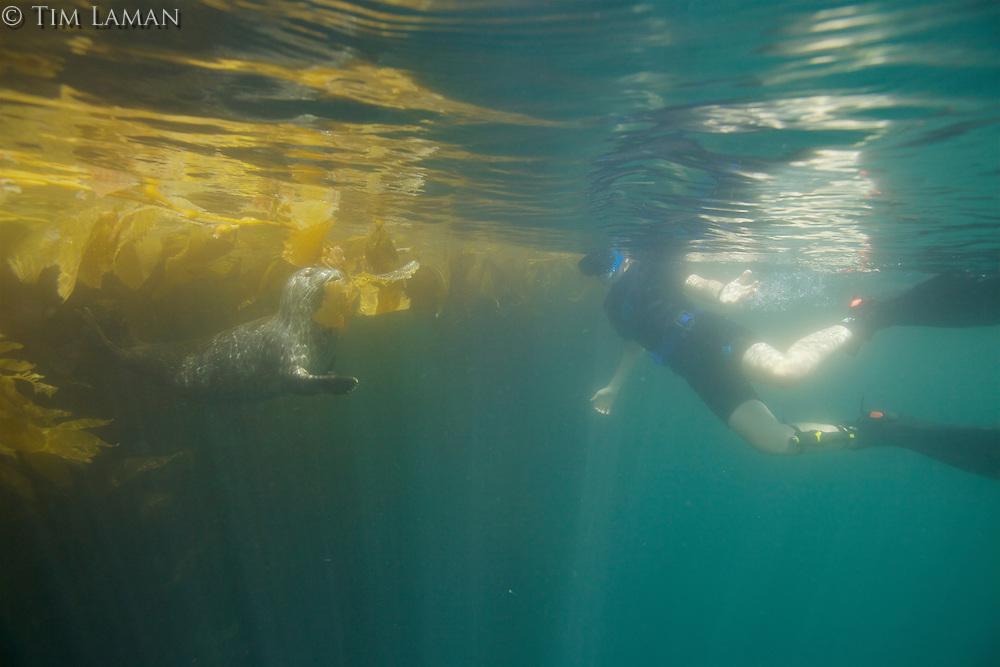 Harbor Seal (Phoca vitulina) in Giant Kelp (Macrocsytis pyrifera) forest off La Jolla, CA.