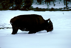 WY: Wyoming; Yellowstone National Park, Buffalo, winter, in snow        .Photo Copyright Lee Foster, lee@fostertravel.com, www.fostertravel.com, (510) 549-2202.Image: wyyell206