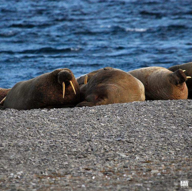 Walrus ( Odobenus rosmarus ). Maxwell Bay on Devon Island.  Lancaster Sound. HIgh Arctic. Canada