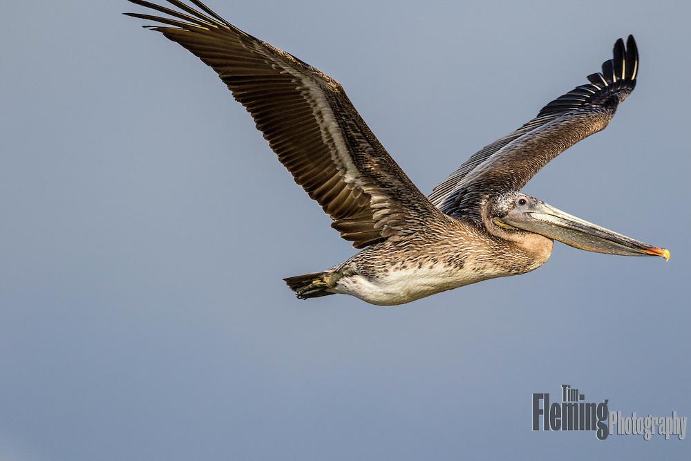 Brown pelican flying over Big Sur, California
