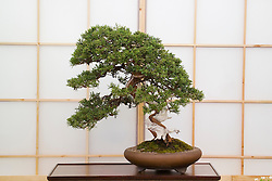 Bonzai tree - Juniperus chinensis ( Driftwood style ). Heron's Bonsai - Chelsea 2005